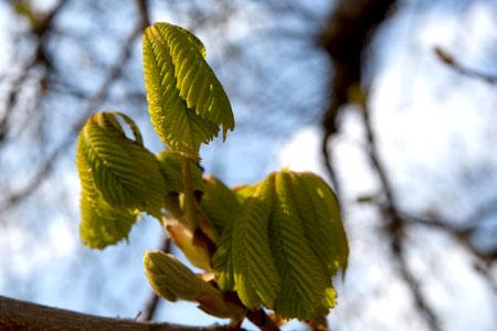 Aufgehende Kastanienblätter