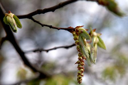 Im Frühling: Blütenstand der Bäume