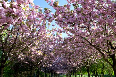 Japanische Kirschblüten in Berlin
