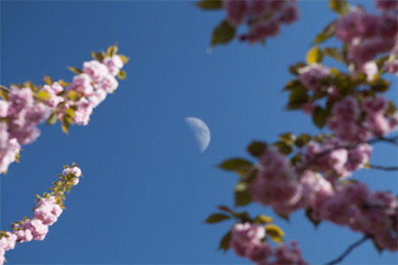 Kirschblüten mit Halbmond