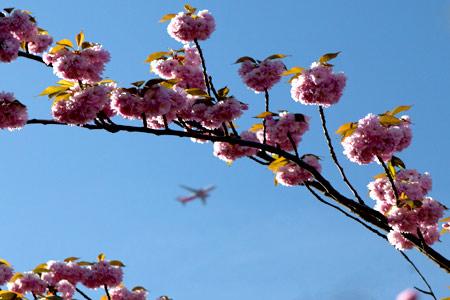 Kirschblüten mit Flugzeug